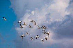 长嘴上弯的长脚鸟鸟带在丰特德彼德拉盐水湖在马拉加 免版税库存照片