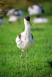 长嘴上弯的长脚鸟鸟 库存图片