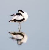 长嘴上弯的长脚鸟 免版税库存照片