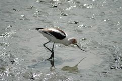 长嘴上弯的长脚鸟 免版税图库摄影