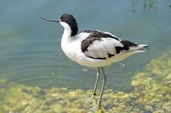 长嘴上弯的长脚鸟avosetta染色recurvirostra 图库摄影