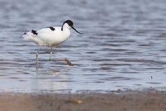 长嘴上弯的长脚鸟avosetta染色recurvirostra 免版税库存图片