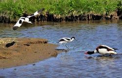 长嘴上弯的长脚鸟avosetta父项防护recurvirostra 免版税库存图片