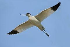 长嘴上弯的长脚鸟avosetta recurvirostra 免版税库存图片