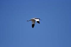 长嘴上弯的长脚鸟avosetta recurvirostra 库存图片