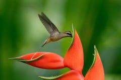 长嘴鸟的隐士, Phaethornis longirostris,从伯利兹的罕见的蜂鸟 与红色花的飞鸟 行动野生生物场面为 免版税图库摄影