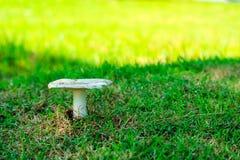 长大在庭院里的白蚁蘑菇在雨下落以后 库存图片