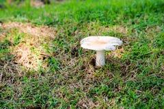 长大在庭院里的白蚁蘑菇在雨下落以后 免版税库存图片