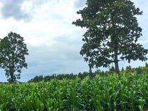 长大在种植园的绿色玉米田 图库摄影