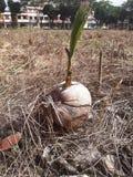 长大在老农场的菠萝种子 免版税库存图片