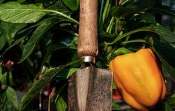 长大在藤的鲜美新甜椒关闭 图库摄影