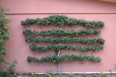 长大墙壁的灌木 库存照片