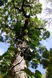 长大树的上升的常春藤 免版税库存图片