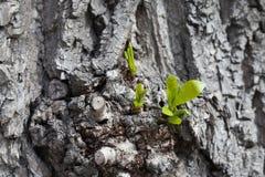 长大概念 与年轻人射击和绿色叶子的老白扬树 春天场面灰色树干 软绵绵地集中 库存照片