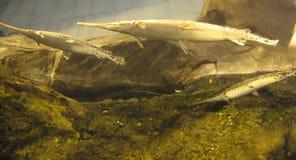 长头雀鳝或针鼻雀鳝雀鳝属osseus 库存照片