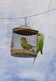 长尾小鹦鹉和饲养者, Bundi,拉贾斯坦 图库摄影