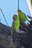 长尾小鹦鹉巢 免版税库存照片