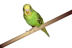 长尾小鹦鹉栖息 免版税图库摄影