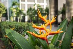 长尾小鹦鹉花在城市环境新加坡里 免版税图库摄影