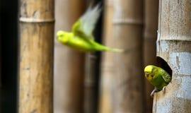 长尾小鹦鹉 免版税图库摄影
