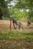 黑长尾小猴在克留格尔国家公园,南非 免版税库存照片