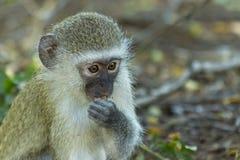 黑长尾小猴坐绿草吃 免版税库存图片
