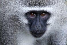 黑长尾小猴纵向 库存图片