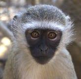 黑长尾小猴纵向 免版税库存照片