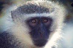 黑长尾小猴画象关闭与在长的面毛的细节 免版税库存图片