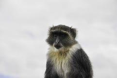 黑长尾小猴画象Chlorocebus pygerythrus肯尼亚内罗毕 免版税库存照片