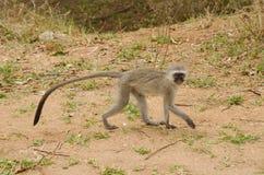 黑长尾小猴走 图库摄影