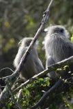 黑长尾小猴,南非 免版税库存照片
