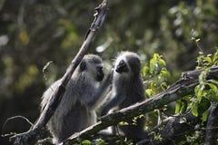 黑长尾小猴,南非 免版税库存图片