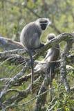 黑长尾小猴,南非 免版税图库摄影