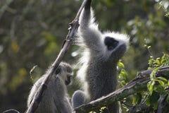 黑长尾小猴,南非 库存照片