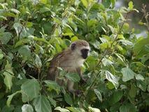 黑长尾小猴1 库存图片