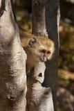 黑长尾小猴 图库摄影