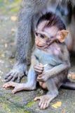 长尾或螃蟹吃短尾猿的婴孩,全长,巴厘岛,印度尼西亚 库存图片
