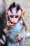 长尾或螃蟹吃短尾猿的婴孩,半身,巴厘岛,印度尼西亚 免版税库存图片