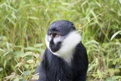 长尾猴属hoest lhoesti猴子s 库存照片