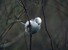 长尾的山雀 库存图片