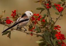 长尾的山雀- Aegithalos caudatus 库存图片