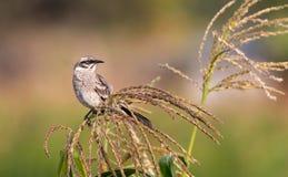 长尾的模仿鸟 免版税库存照片
