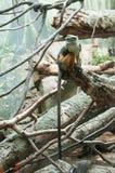 长尾的猴子 免版税库存照片