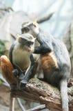 长尾的猴子 库存照片