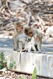 长尾的短尾猿家庭;父亲猴子一只小的猴子的发现壁虱 免版税库存图片
