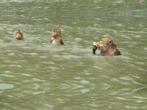 长尾的短尾猿或螃蟹吃短尾猿猴子 库存照片