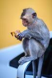 长尾的短尾猿或螃蟹吃短尾猿(猕猴属fascicularis) 免版税库存照片