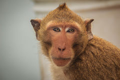 长尾的短尾猿或螃蟹吃短尾猿(猕猴属fascicularis) 库存图片