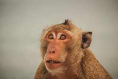 长尾的短尾猿或螃蟹吃短尾猿(猕猴属fascicularis) 库存照片